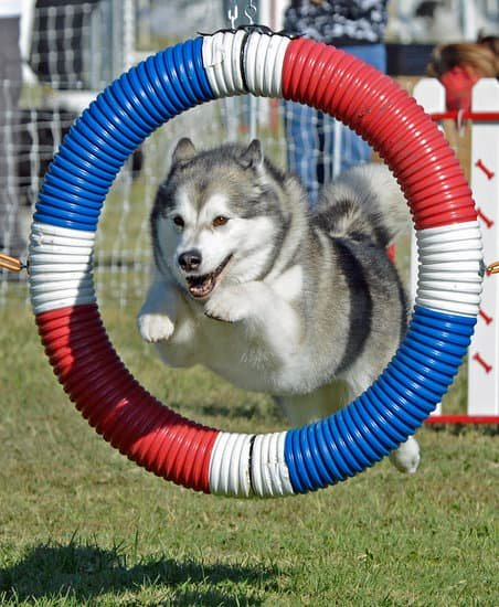 The Animalista fitness for dogs and cats. Dog making agility course look easy. This is one healthy dog
