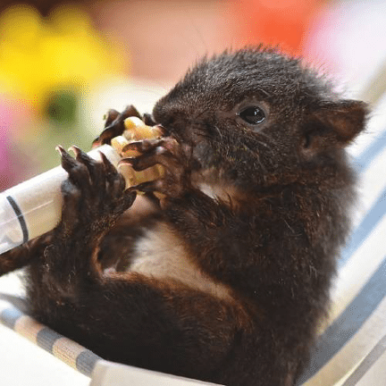 The Animalista baby squirrel eating