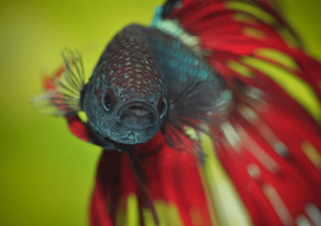 The Animalista Betta Fish Looking at You