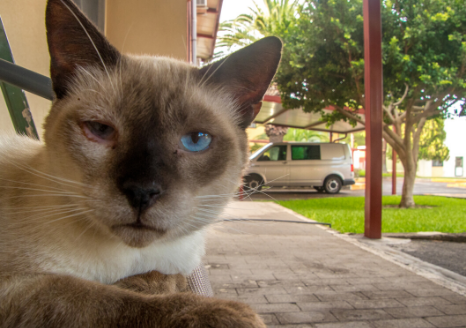 The Animalista cat with infection in left eye