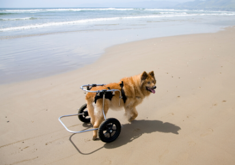 The Animalista dog with walking aid due to arthritis