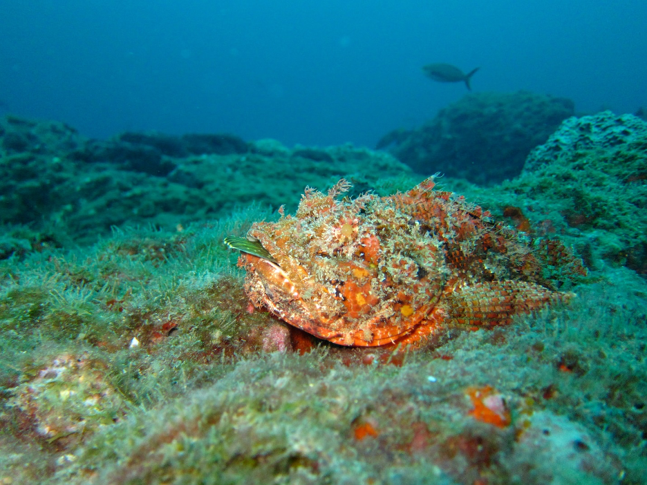Scorpionfish at the bottom of the ocean
