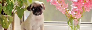 Top 10 dog breeds to own if you live in an apartment