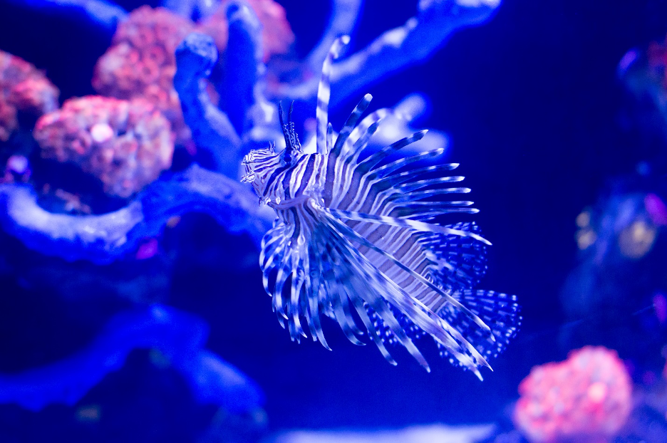 lionfish showing off its beautiful spines