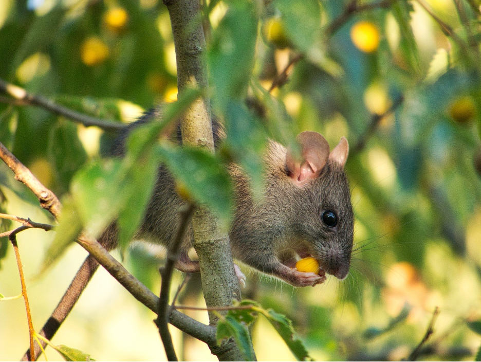 wild mouse having some lunch sitting in tree