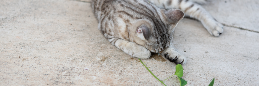 The Animalista cat feeling the effects of catnip