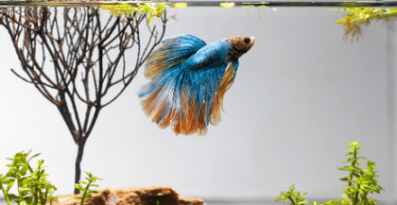 Domestic Category Pet Fish