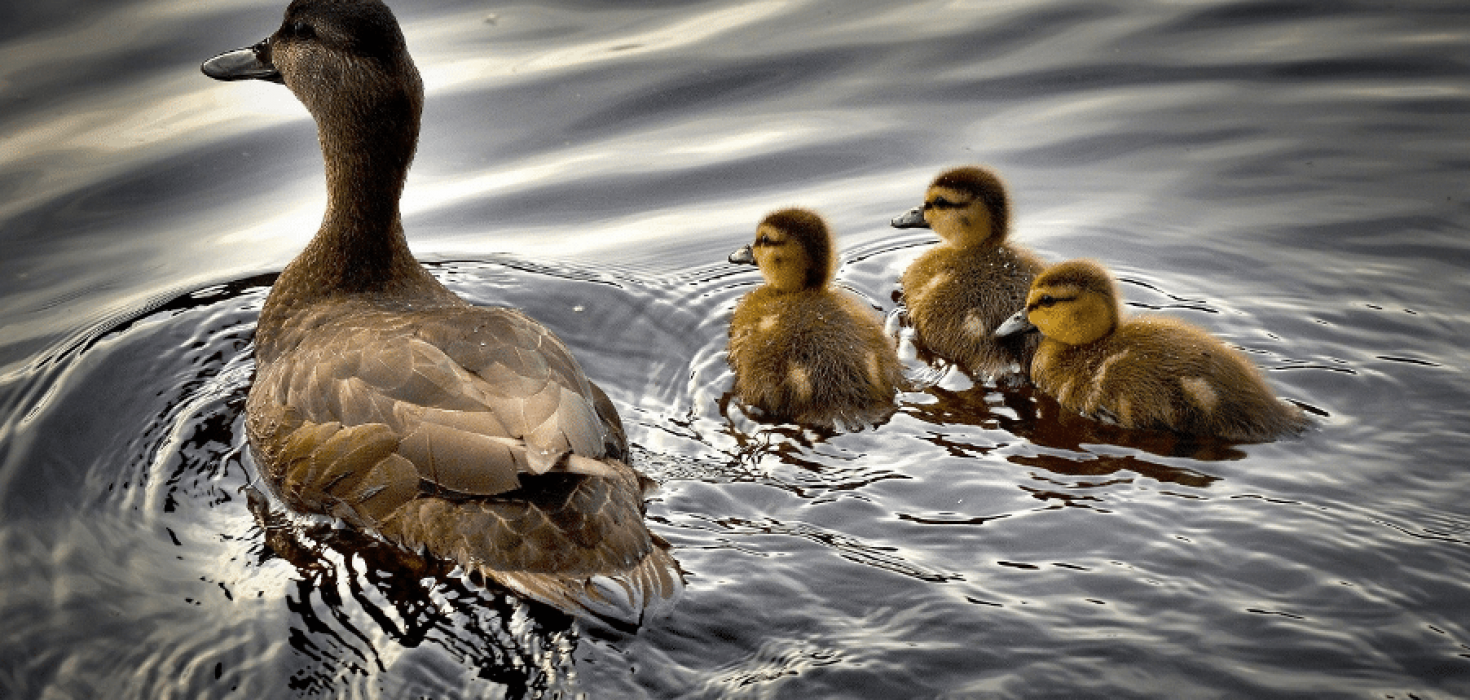 The Animalista mother duck with her babies
