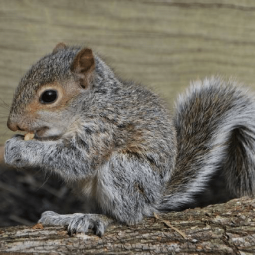 The Animalista squirrel eating a nut