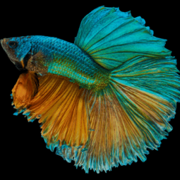 The Animalista Betta Fish