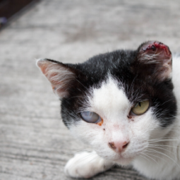 The Animalista cat eye infections treatment