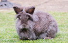 The Animalista How Long Do Lionhead Rabbits Live