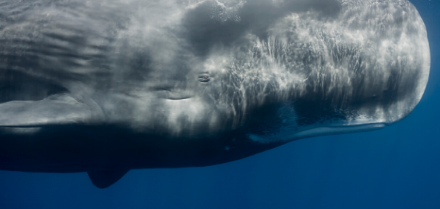 How sperm whales get their name