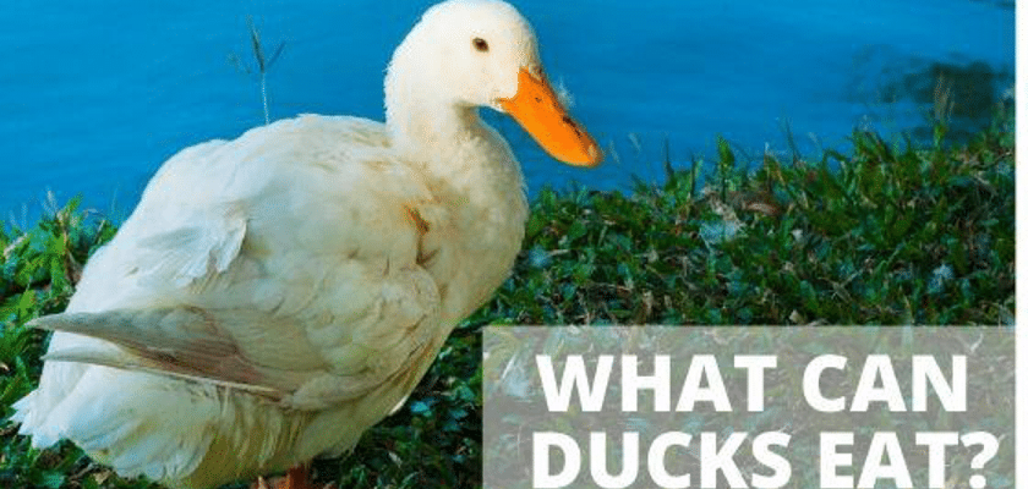 The Animalista what can duck eat